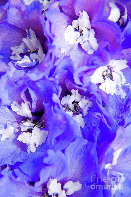 Nature Art Print featuring the photograph Delphinium Flowers by Julia Hiebaum