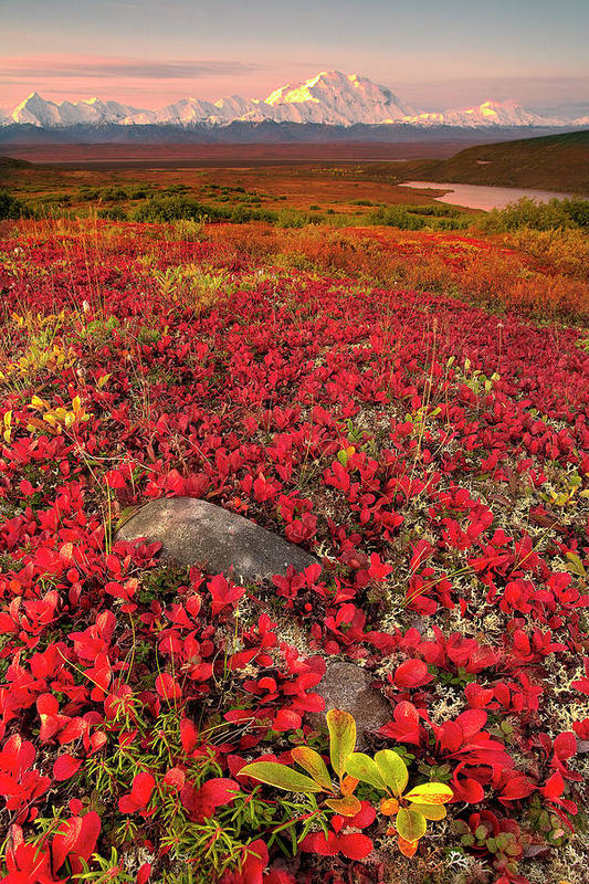 Vertical Art Print featuring the photograph Denali National Park Fall Colors by Kevin McNeal