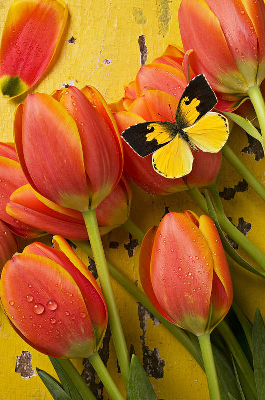 Butterfly Art Print featuring the photograph Dogface Butterfly And Tulips by Garry Gay