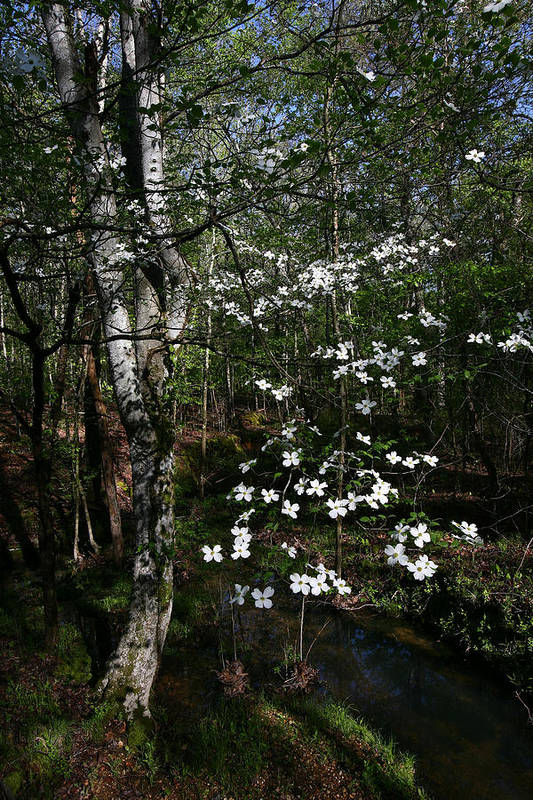Dogwood Tree Art Print featuring the photograph Dogwood by James Jones