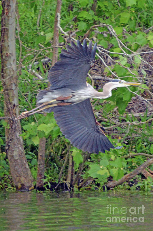 Heron Art Print featuring the photograph Drumsticks Anyone by Diane Friend
