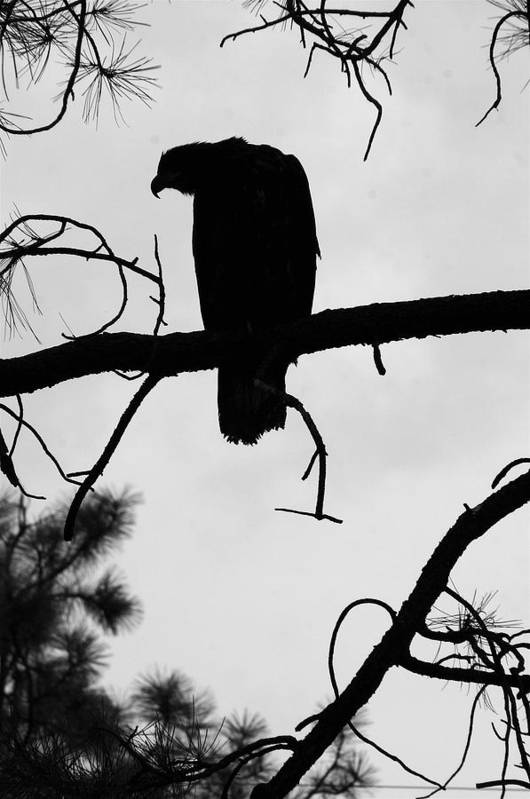 Nature Art Print featuring the photograph Eaglet Silhouette by MH Ramona Swift