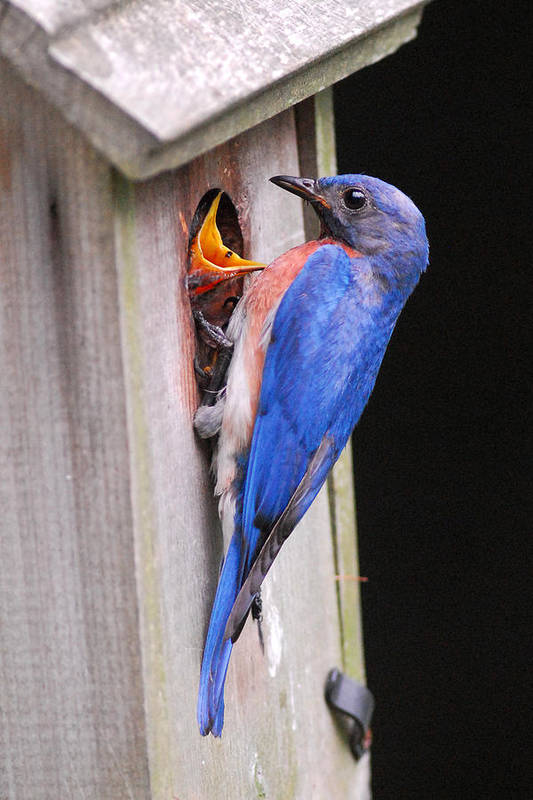 Songbird Art Print featuring the photograph Eastern Bluebird And Chick by Alan Lenk