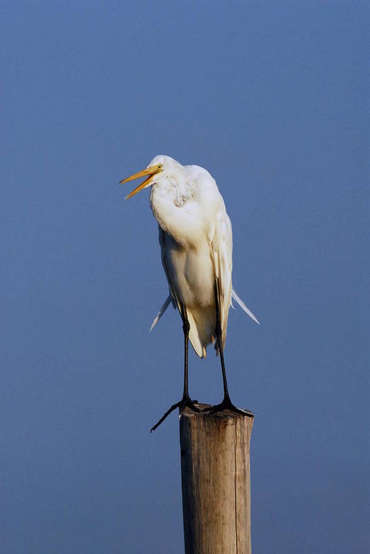 Great Egret Art Print featuring the photograph Egret 9 by Joyce StJames