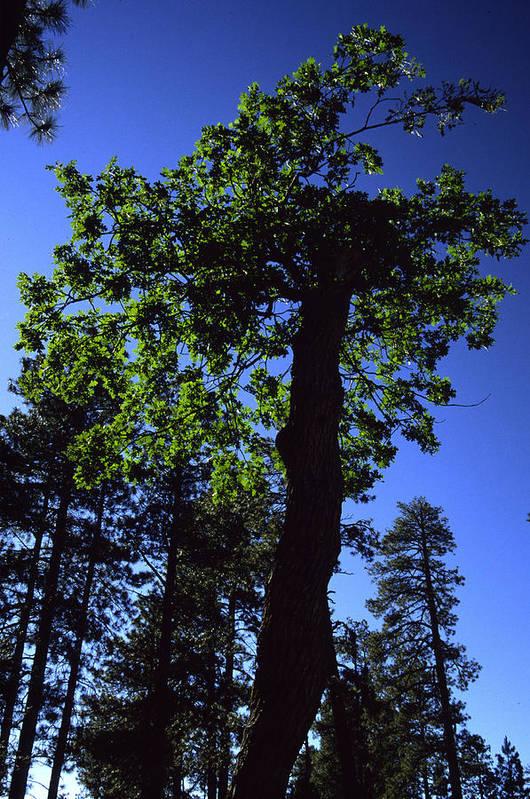 Oak Tree Art Print featuring the photograph Emerald Oak by Randy Oberg