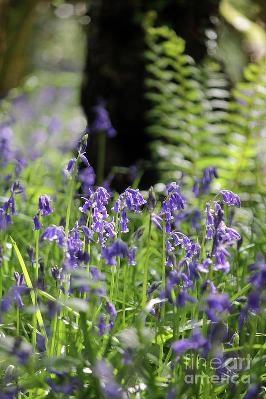 English Bluebells In Bloom Epsom Surrey Uk Wood English Bluebells Wood Effingham Surrey Uk Countryside Landscape Blue Flowers Traditional Scene Woodland Bluebell Forest Picturesque Beech Trees Tree Trunk Art Print featuring the photograph English Bluebell Wood by Julia Gavin