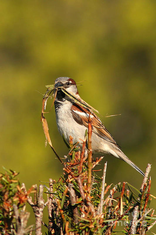 Sparrow Art Print featuring the photograph English Sparrow Bringing Material To Build Nest by Max Allen