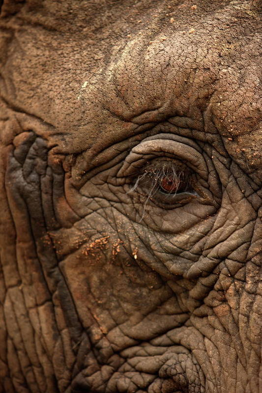 Elephant Art Print featuring the photograph Eye Of The Elephant by Lisa Semler