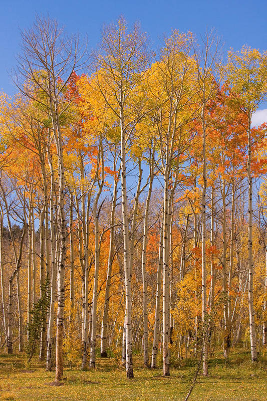 Trees Art Print featuring the photograph Fall Foliage Color Vertical Image by James BO Insogna
