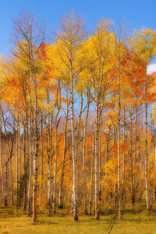 Trees Art Print featuring the photograph Fall Foliage Color Vertical Image Orton by James BO Insogna