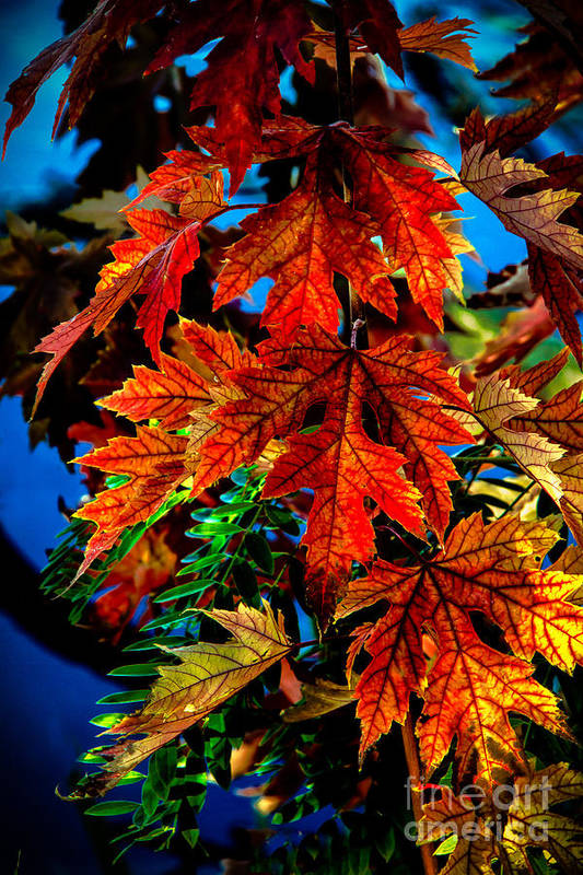 Maple Art Print featuring the photograph Fall Reds by Robert Bales