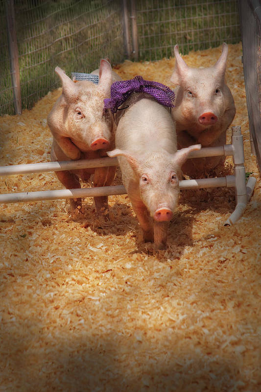 Pig Art Print featuring the photograph Farm - Pig - Getting Past Hurdles by Mike Savad