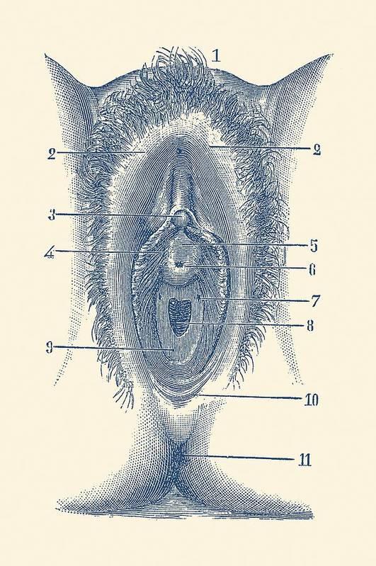 Female Reproductive Diagram The Vagina Vintage Anatomy Art Print