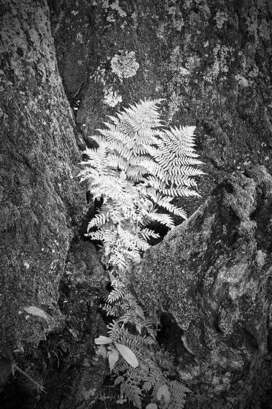 Fern Art Print featuring the photograph Fernglow by Harry H Hicklin