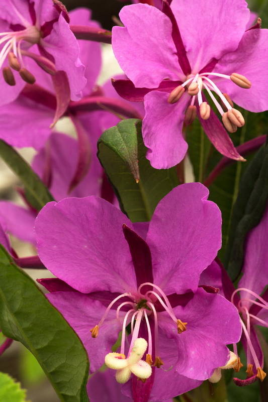 Nature Photography Art Print featuring the photograph Fireweed IIi by Amanda Kiplinger
