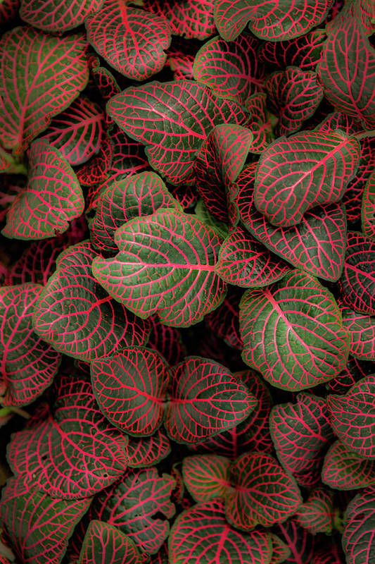 Fittonia Art Print featuring the photograph Fittonia by Jade Moon