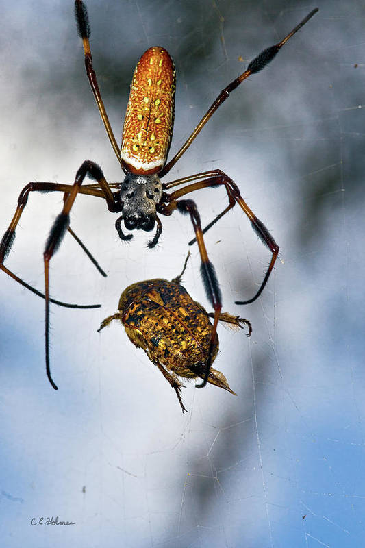 Golden Silk Orb-weaver Art Print featuring the photograph Flew In For Dinner by Christopher Holmes