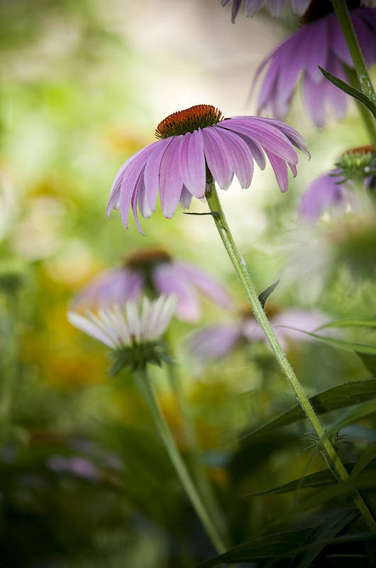 Echinacea Purpurea Art Print featuring the photograph Flowers In Bloom by Chad Davis