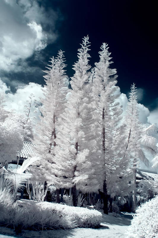 3scape Photos Art Print featuring the photograph Four Tropical Pines Infrared by Adam Romanowicz