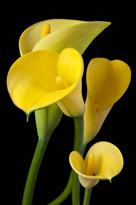 Yellow Art Print featuring the photograph Four Yellow Calla Lilies by Garry Gay