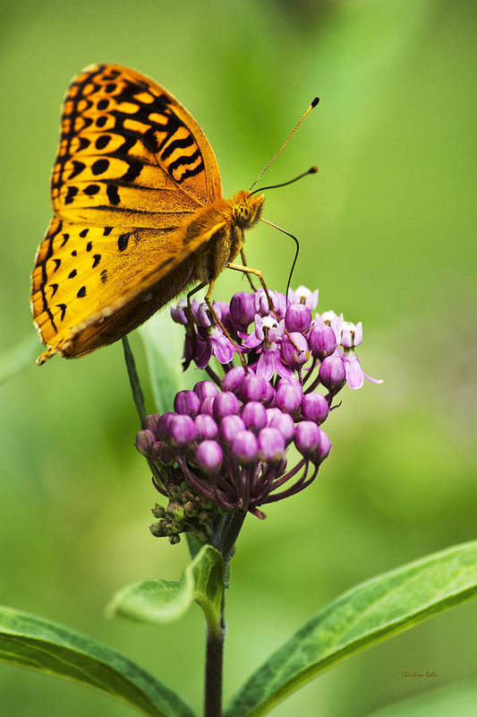 Nature Art Print featuring the photograph Fritillary Butterfly And Flower by Christina Rollo