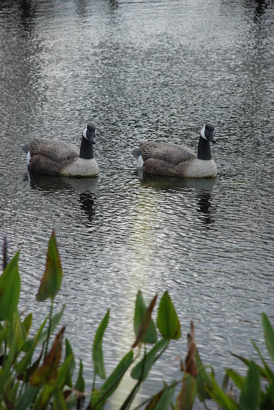 Water Art Print featuring the photograph Geese by Rob Hans