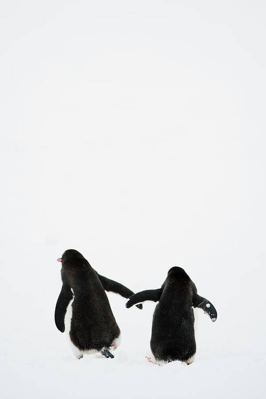 Vertical Art Print featuring the photograph Gentoo Penguin (pygoscelis Papua) by Elliott Neep