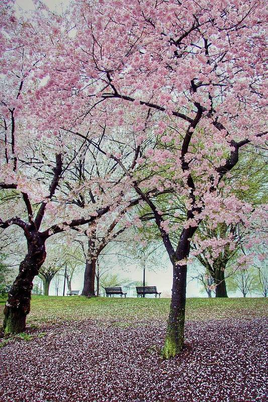 Cherry Blossoms Art Print featuring the photograph Gifts by Mitch Cat