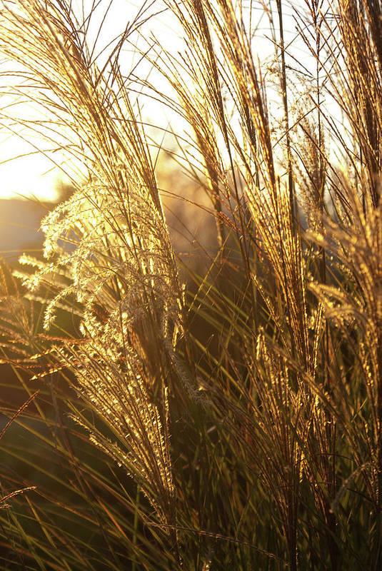 Golden Art Print featuring the photograph Golden Grass In Sunset by Douglas Barnett