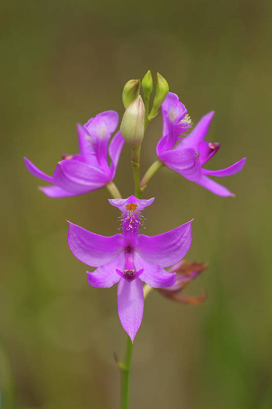 Orchid Art Print featuring the photograph Grasspink #1 by Paul Rebmann