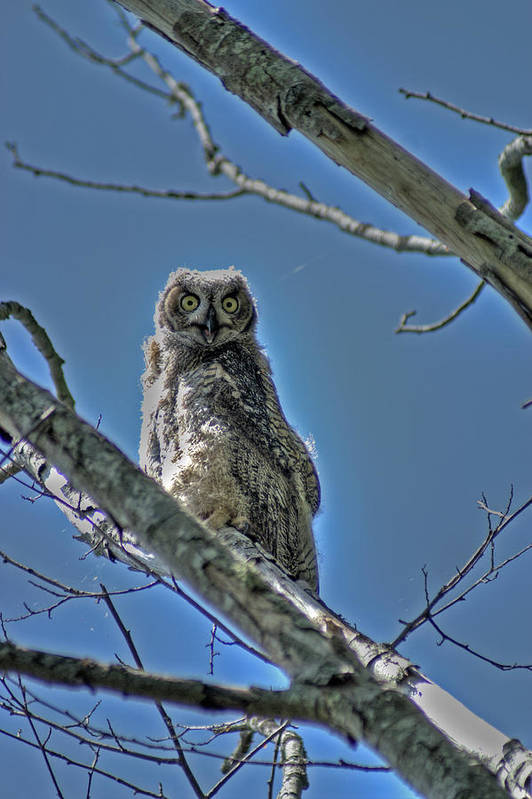 Birds Art Print featuring the photograph Great Horned Owl by Alexander Rozinov