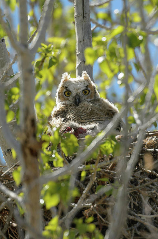 Great Horned Owl Art Print featuring the photograph Great Horned Owl Chick by Richard Eastman