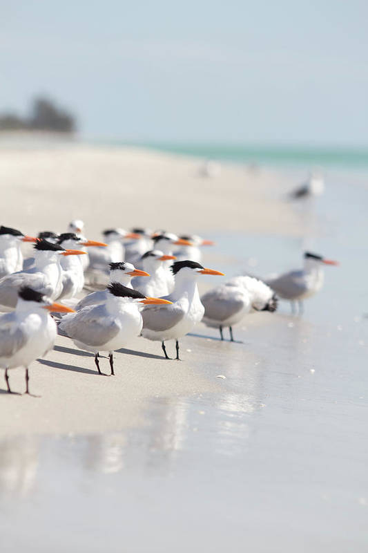 Vertical Art Print featuring the photograph Group Of Terns On Sandy Beach by Angela Auclair