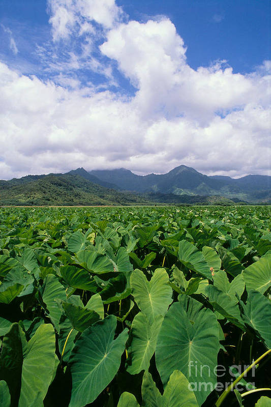 A40h Art Print featuring the photograph Hanalei Valley Taro Field by Joe Carini - Printscapes