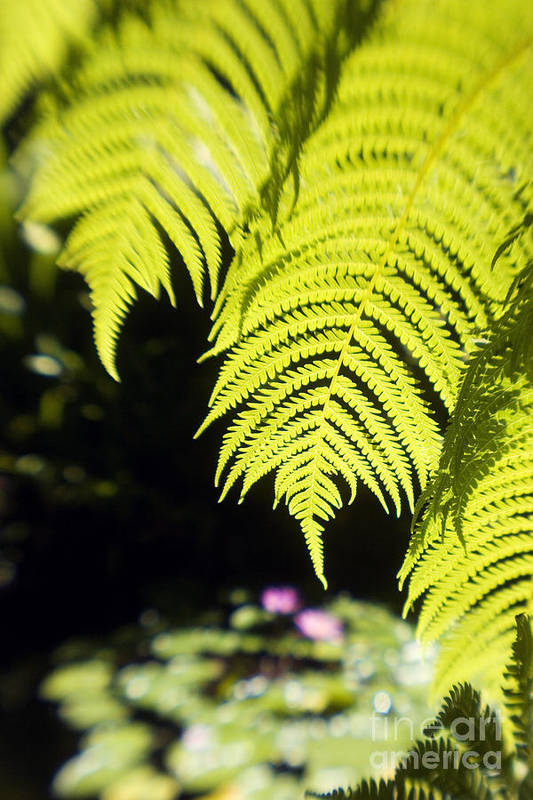 Abstract Art Print featuring the photograph Hapuu Ferns by Ron Dahlquist - Printscapes