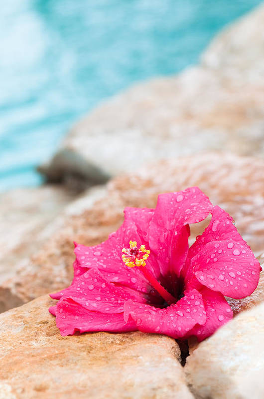 Hibiscus Art Print featuring the photograph Hibiscus Flower by Amanda Elwell