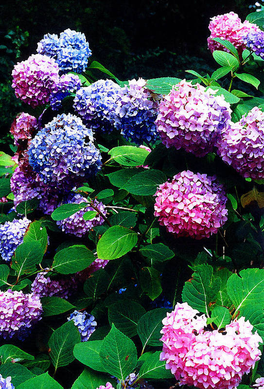 Flowers Art Print featuring the photograph Hydrangeas by Nancy Mueller