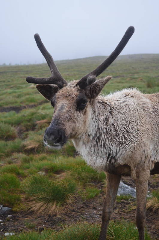 Nature Art Print featuring the photograph I Think It Might Reindeer by Graham Harding