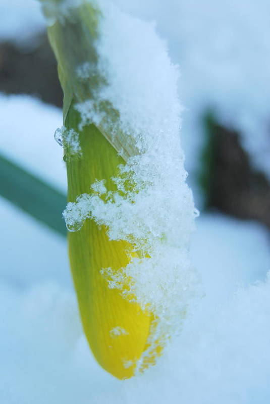 Winter Art Print featuring the photograph Icy Daffodil by Beth Sullivan