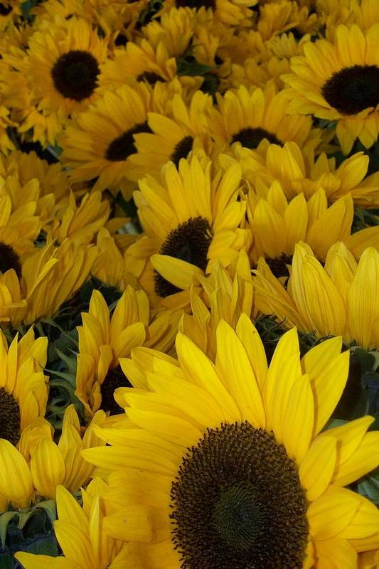Art Print featuring the photograph In Full Bloom - Sunflowers by Stacy Devanney