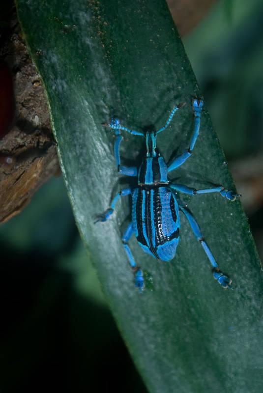 Weevil Art Print featuring the photograph Indigo Blue Weevil by Douglas Barnett