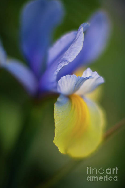 Iris Art Print featuring the photograph Iris Grace by Mike Reid