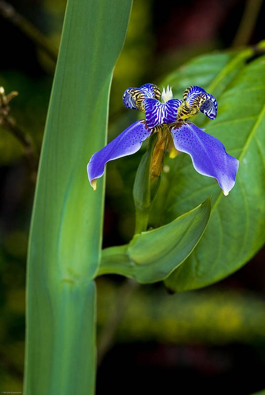 Flower Art Print featuring the photograph Iris On Green by Ches Black