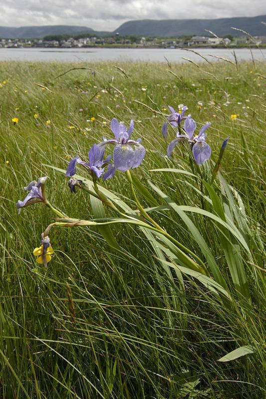 Purple Iris Art Print featuring the photograph Irises By The Sea by Sven Brogren