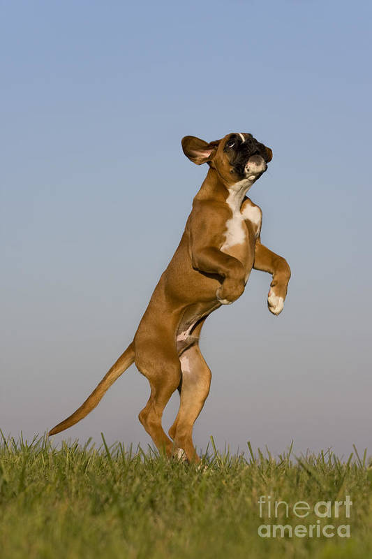 Boxer Art Print featuring the photograph Jumping Boxer Puppy by Jean-Louis Klein & Marie-Luce Hubert