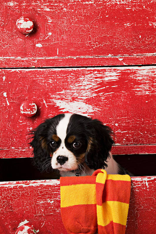 Puppy Art Print featuring the photograph King Charles Cavalier Puppy by Garry Gay