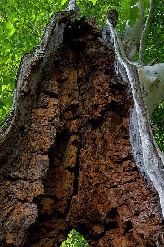 Rotted Tree Art Print featuring the photograph Lady Of The Forest by Murray Bloom