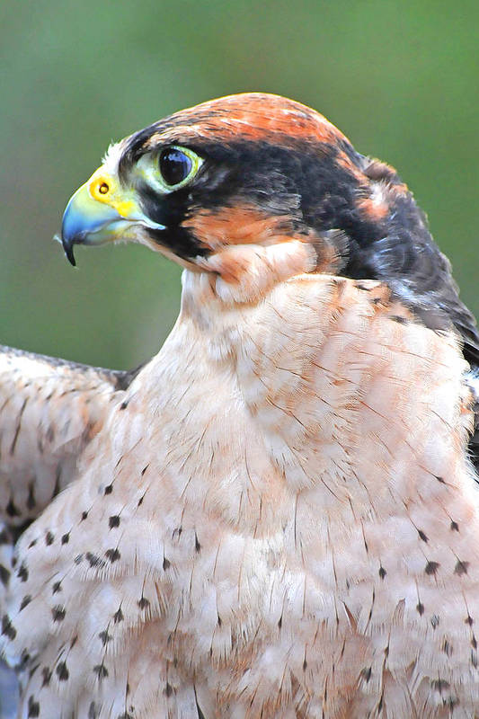 Lanner Falcon Art Print featuring the photograph Lanner Falcon by Alan Lenk