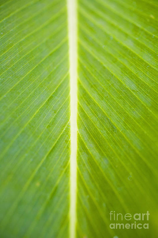 Botanical Art Print featuring the photograph Leaf Close-up by Tomas del Amo - Printscapes