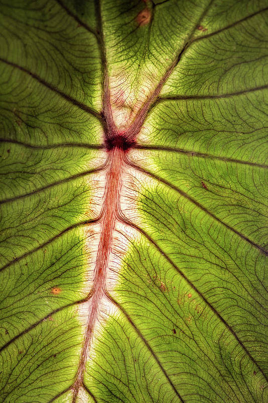 Leaf Art Print featuring the photograph Leaf With Veins by Don Johnson